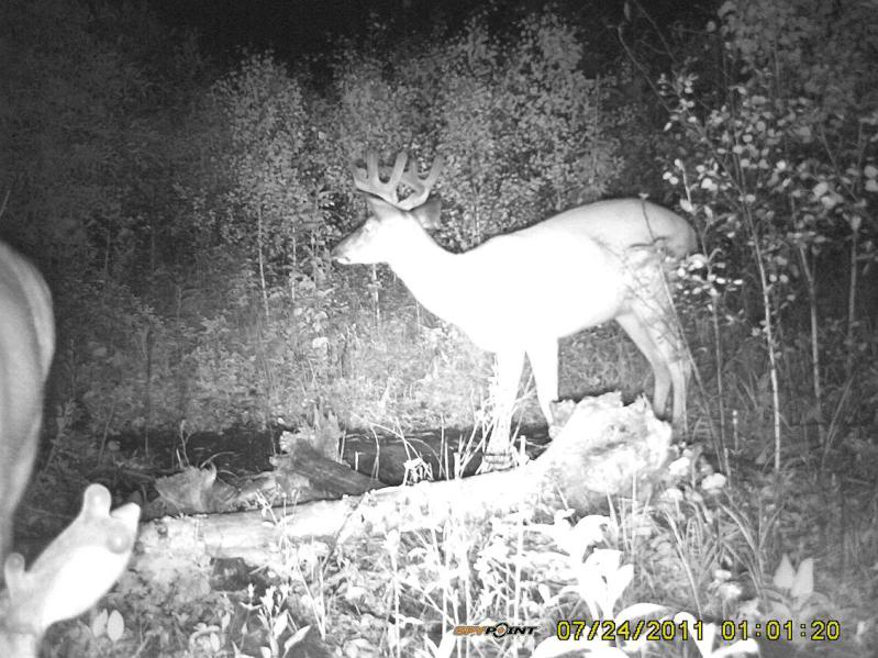Bucks de l'Alberta sur mon territoire PICT0347