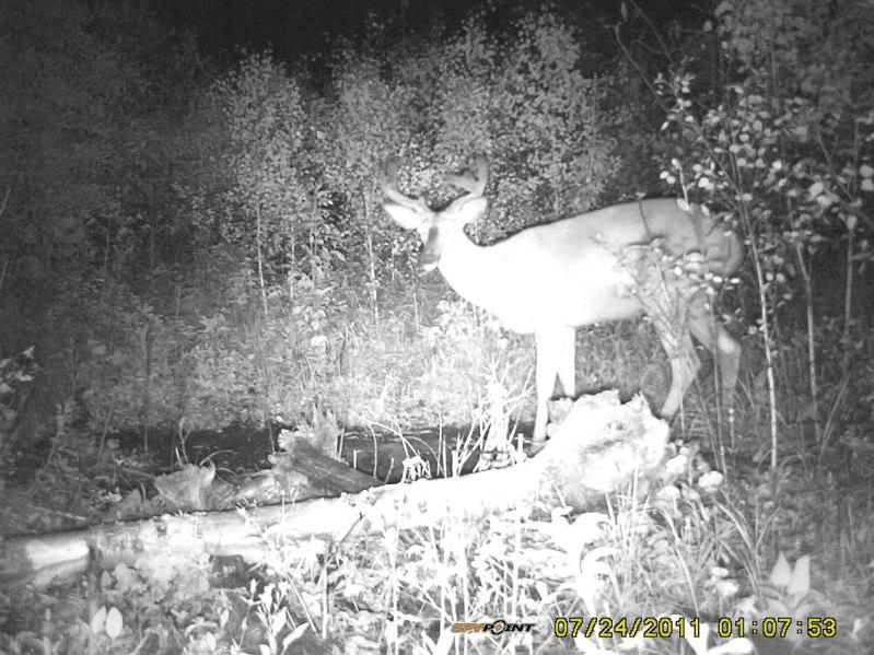 Bucks de l'Alberta sur mon territoire PICT0353