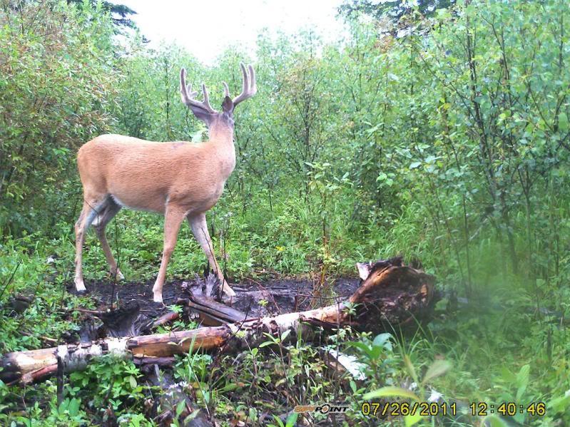 Bucks de l'Alberta sur mon territoire PICT0418
