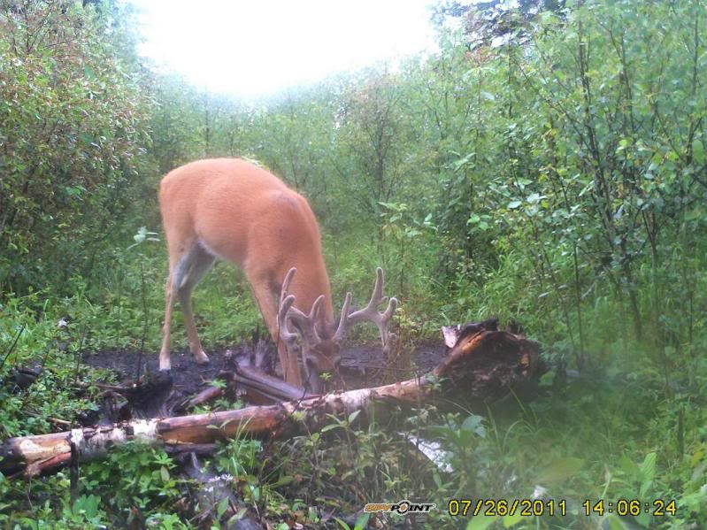 Bucks de l'Alberta sur mon territoire PICT0420