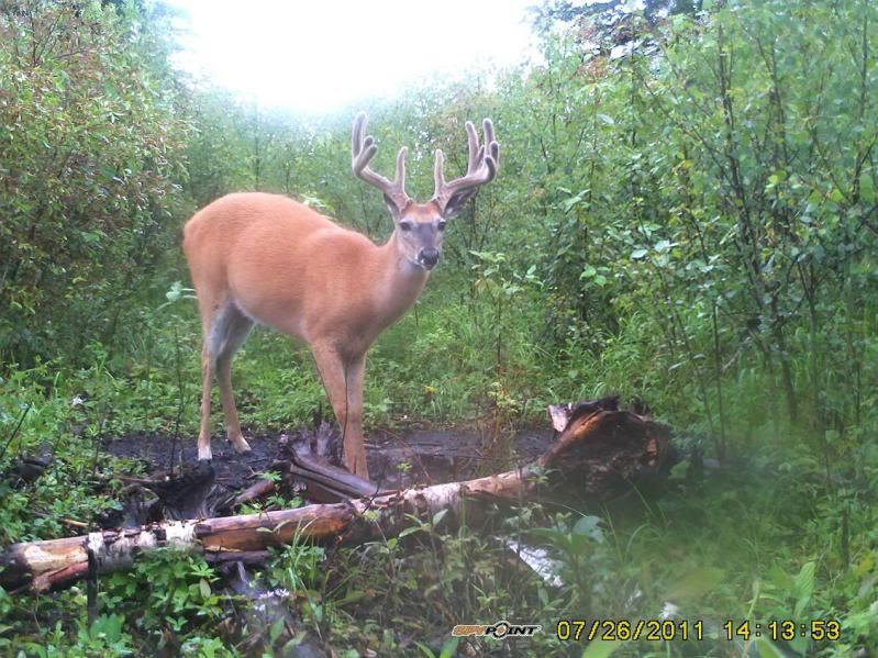 Bucks de l'Alberta sur mon territoire PICT0421