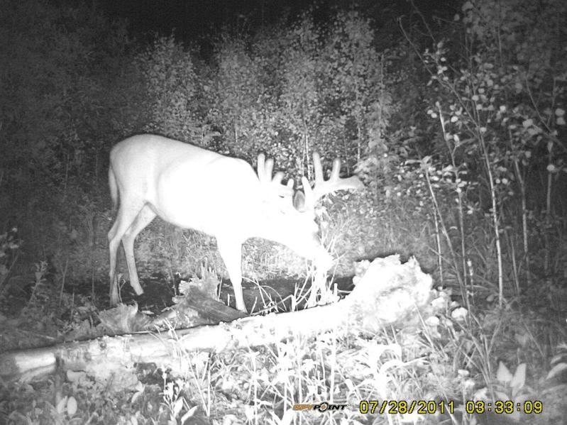 Bucks de l'Alberta sur mon territoire PICT0484
