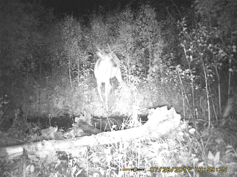 Bucks de l'Alberta sur mon territoire PICT0498