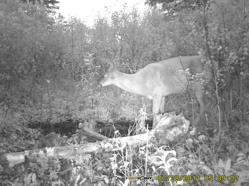Bucks de l'Alberta sur mon territoire PICT0529