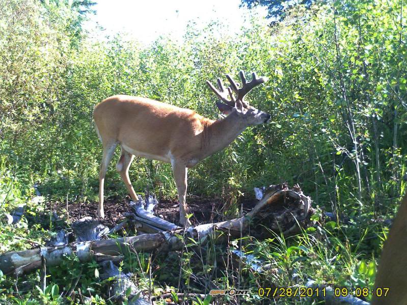Bucks de l'Alberta sur mon territoire PICT0532