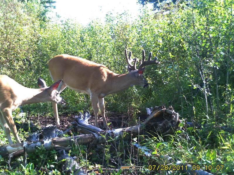 Bucks de l'Alberta sur mon territoire PICT0534