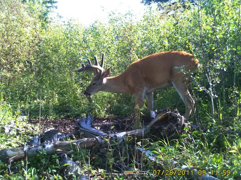 Bucks de l'Alberta sur mon territoire PICT0536