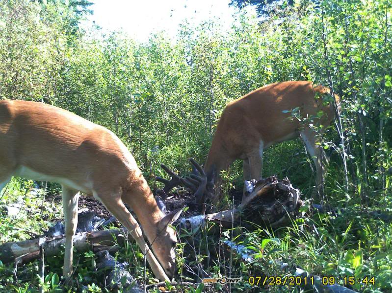 Bucks de l'Alberta sur mon territoire PICT0539