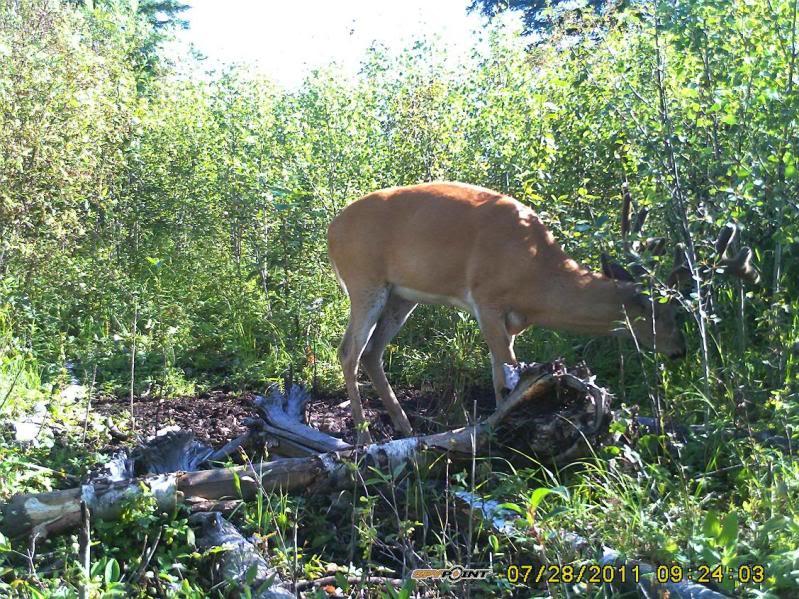 Bucks de l'Alberta sur mon territoire PICT0544