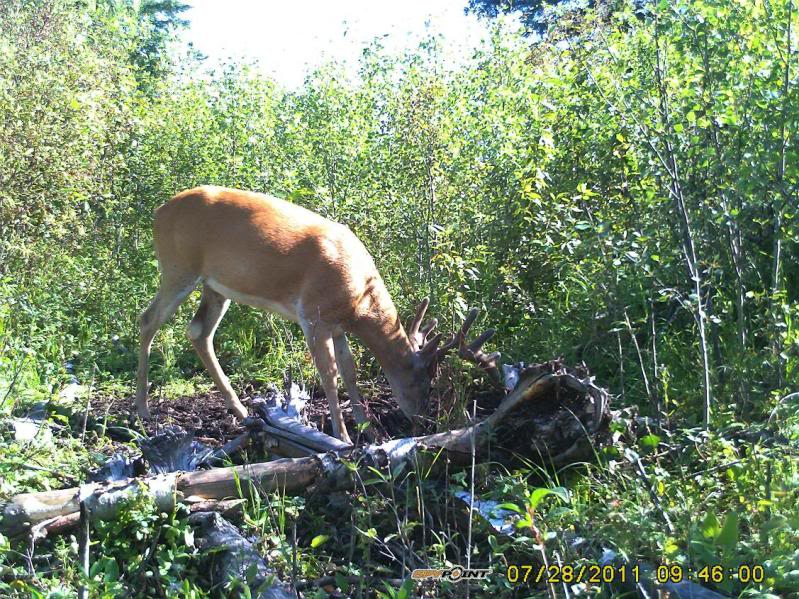 Bucks de l'Alberta sur mon territoire PICT0547