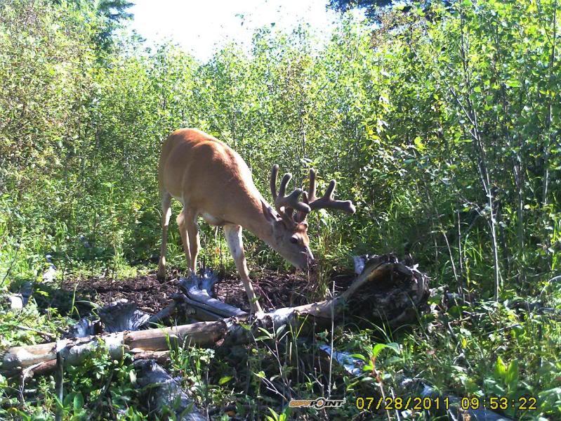Bucks de l'Alberta sur mon territoire PICT0549