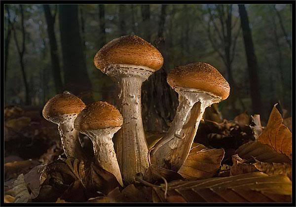 Pecurke Gljive