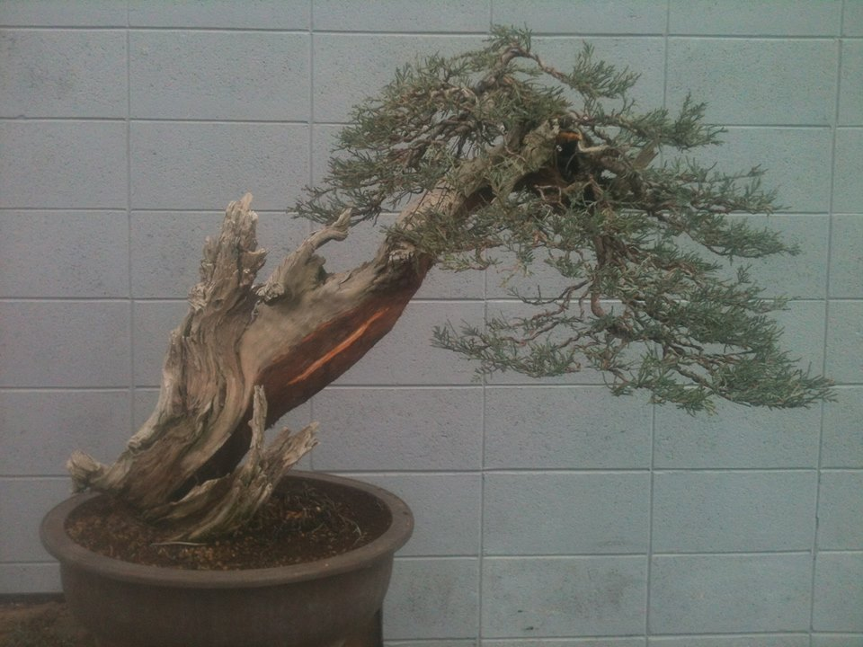 Six year progression of a Sierra juniper 1011679_651137424952006_730209610_n_zps48c303b3