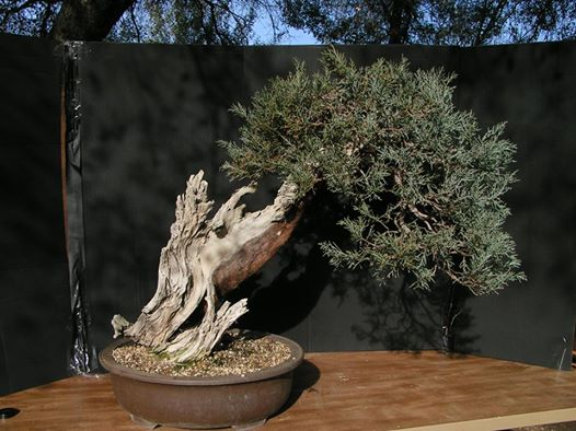 Six year progression of a Sierra juniper BeforewiringwithBjorn_zpse1a4970a