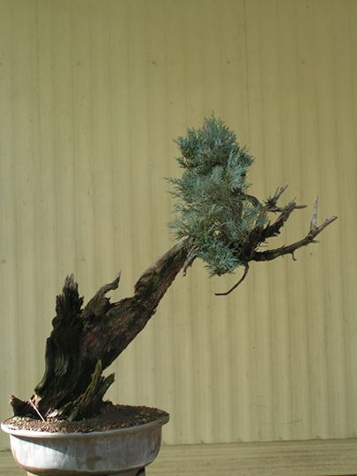 Six year progression of a Sierra juniper Firsttimeinapot_zps275029e9