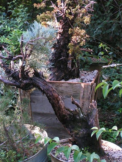 Six year progression of a Sierra juniper Newlycollectedsierra_zpsb1c88ea2