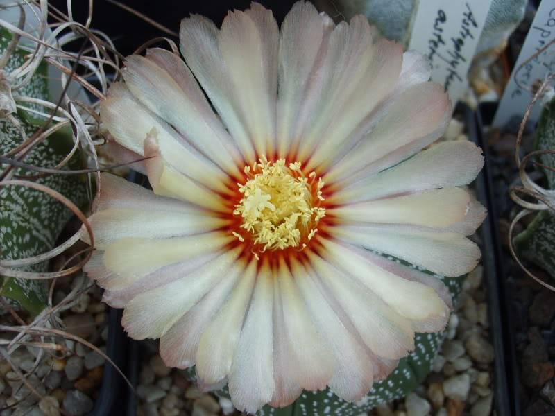 Blütenbilder 2009 - Seite 2 SD531603