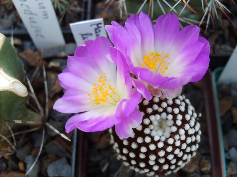 Blütenbilder 2009 - Seite 2 SD531604