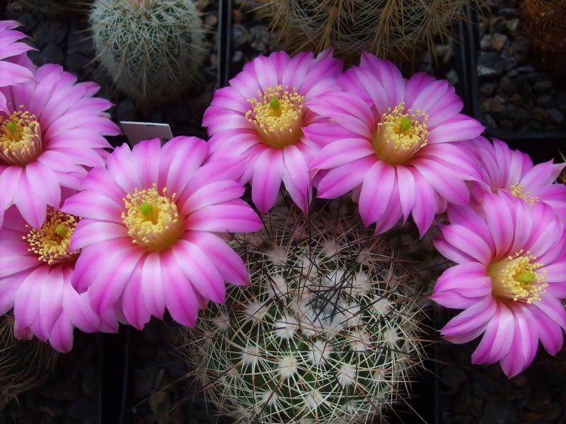 Blütenbilder 2009 - Seite 3 SD531610