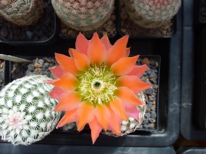 Blütenbilder der Frostharten 2010 - Seite 2 SD531678
