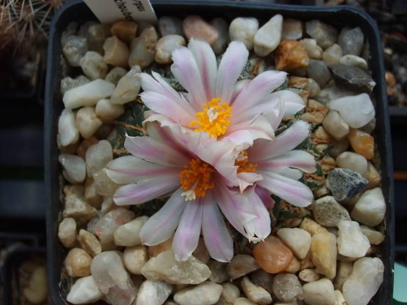 Blütensaison 2009 voll im Gange - Seite 12 SD532111