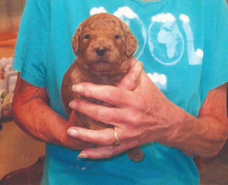 My new puppy Standard_apricot_female_2_weeks_5-22-13-1