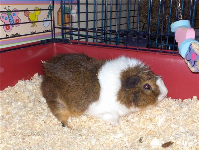 Single Guinea Pig Boar - Sokel Guinea Pig Rescue Abby2