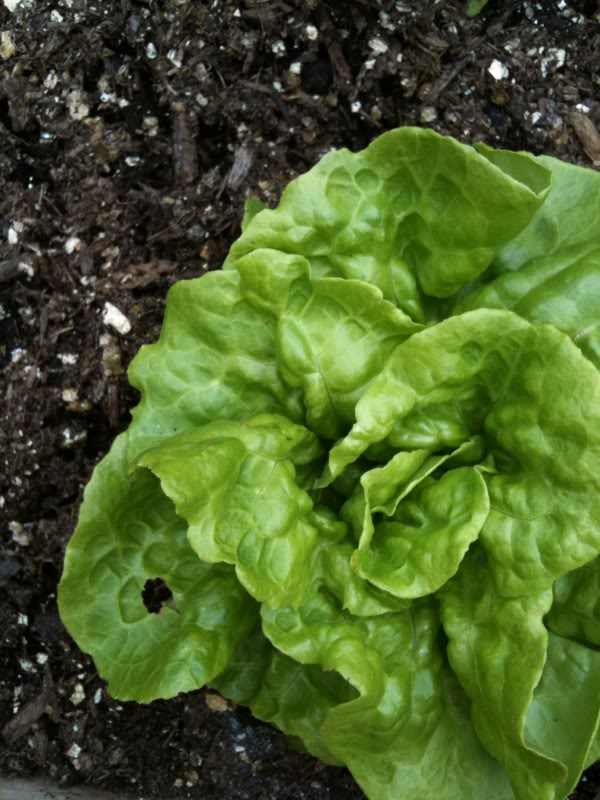 can you diagnose my garden please?? Lettuce