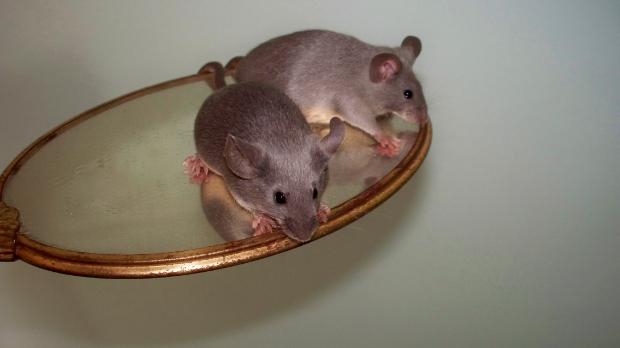 Runaway Mousery and Christina Fogu, Mice for Shipment 49292bc9-6fa4-4d99-9650-f7446d8b742c_zpse7ba913b
