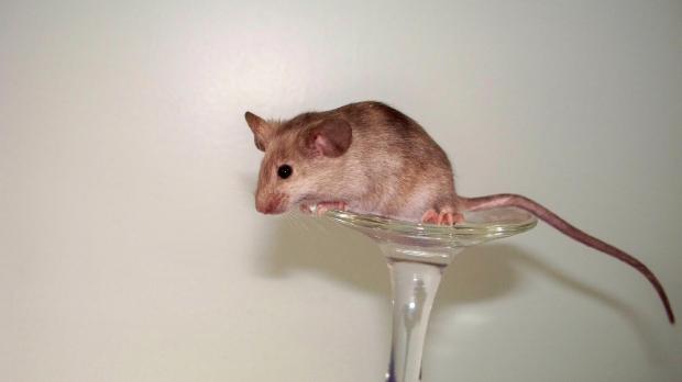Runaway Mousery and Christina Fogu, Mice for Shipment 5a56fbf2-6259-4314-80fe-b0c84f71fa53_zps01b1b838