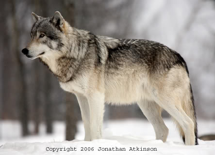 Favorite Animal Topic. La_grey_wolf2