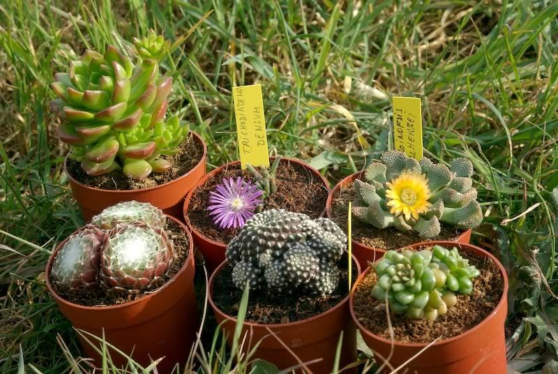 """Otros """"cactus de navidad"""", jeje 1_IGP0406-a800"""