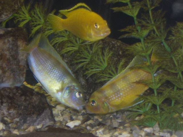 Rift Lake Cichlid questions (MANY, as i am new to the species). N2004-01-29_03misc