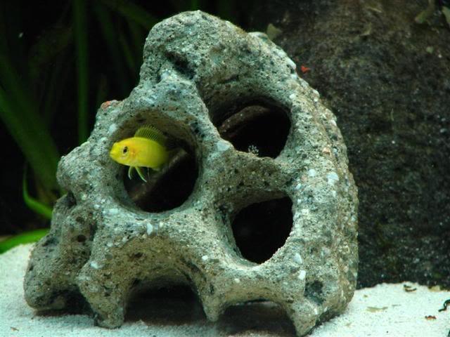 Labidochromis caeruleus Picture1104Medium