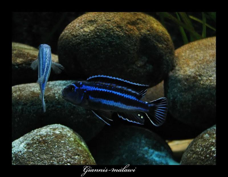 "Melanochromis Cyaneorhabdos ""Maingano"" Picture497800"