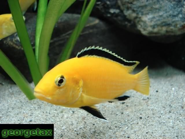 Labidochromis caeruleus Labido_male_filtered