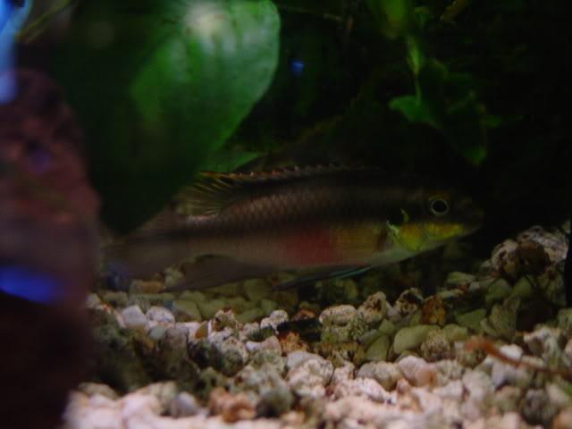 Pelvicachromis Pulcher ( Kribensis) - by pezerologo - DSC044551