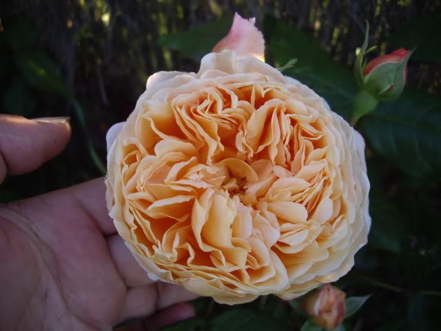 Ayuda para elegir rosales IMGP4780