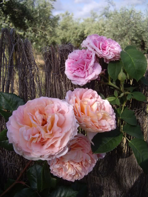 Ayuda para elegir rosales IMGP4879