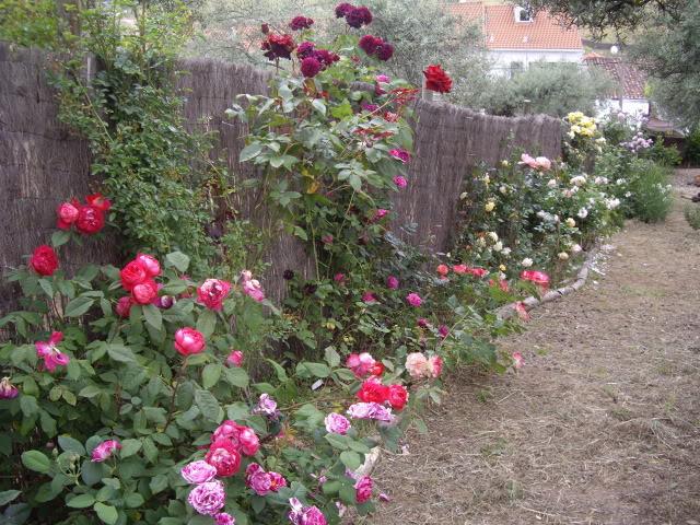 Un sueño.........Mil rosas en mi Jardin - Página 2 IMGP4911
