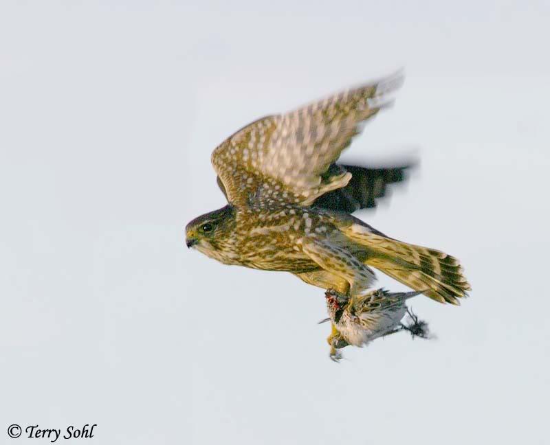 Falconiformes. sub Falconidae - sub fam Falconinae - gênero Falco Merlin_2