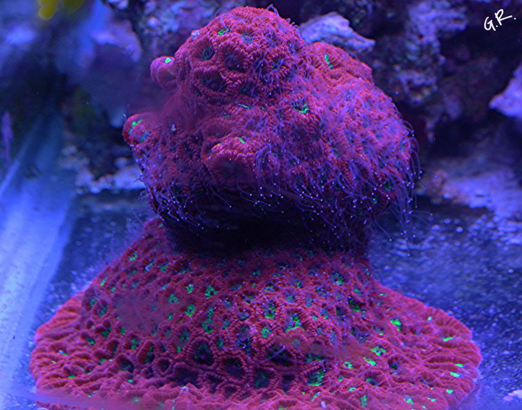 Tank breakdown sale.  Corals.  (closed) IMG_5712_zps44d66298
