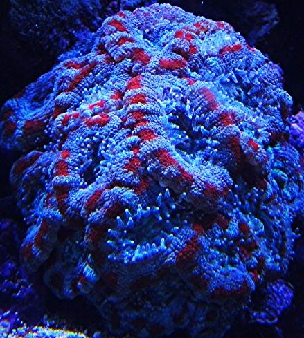 Tank breakdown sale.  Corals.  (closed) Img_0419_zpsf351f9d1