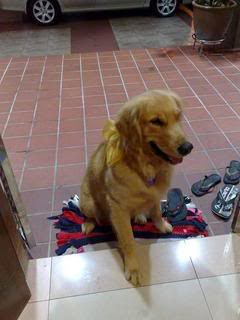 My fren's dog is missing!5 days d.....is a GR! Goldenretriever-1