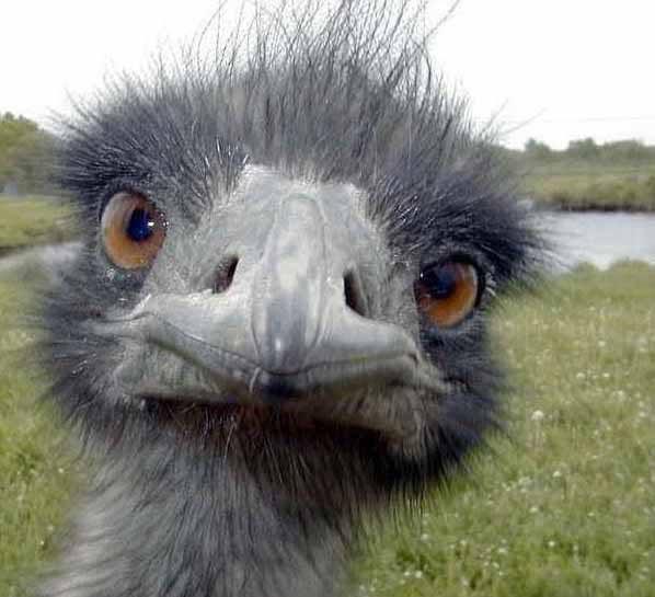 scroll: jardrocks Ostrich-head