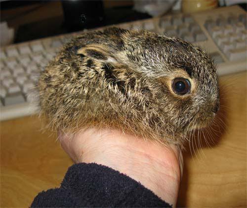 Animaltractor Babykonijn