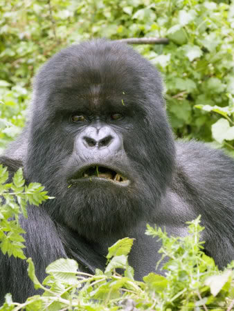 Donald Trump the president of the united states of america is absolutely right - Page 2 Gorillastare