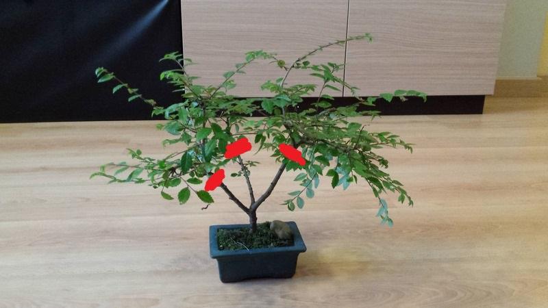 Ayuda con este bonsai 20160612_154021_zpsw70a5brc