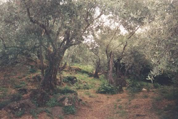 022pelio.jpg amazing ent-like ancient olive trees, still in the pelion region, a true fantasy land. image by rgeorgio