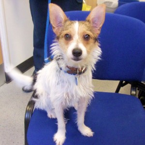 Molly - 10 month old Jack Russell (The Mayhew Animal Home) Molly1-300x300_zps6e1582e1